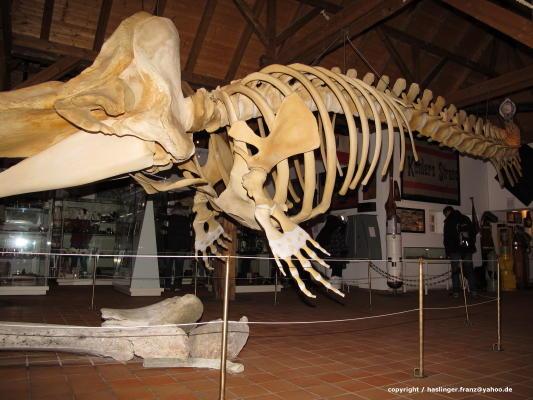 Das Walskelett im Heimatmuseum Borkum