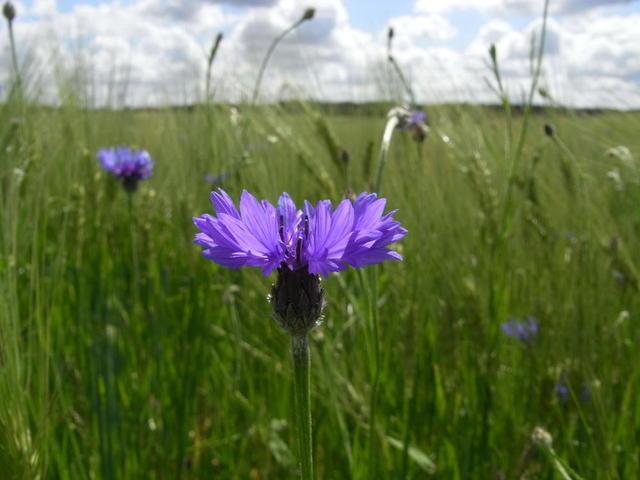 Wildblume in Mecklenburg-Vorpommern