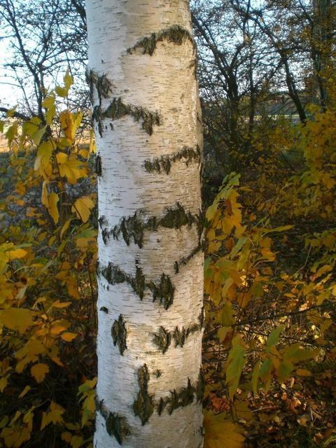 Birke im Seckenheimer Wald