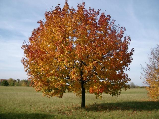Baum in Seckenheim