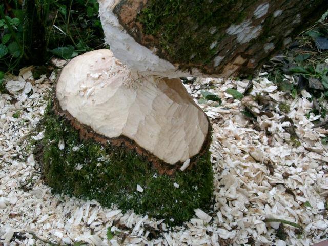 Biberfrass im Naturwald an der Ilz