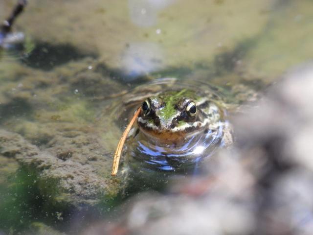 Isnyer Frosch