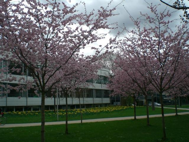 Blühende Mandelbäume in Heidelberg