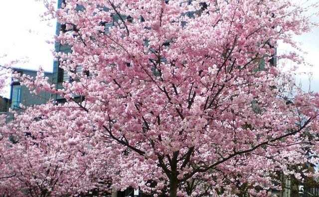 Ein Mandelbaum in voller Blüte