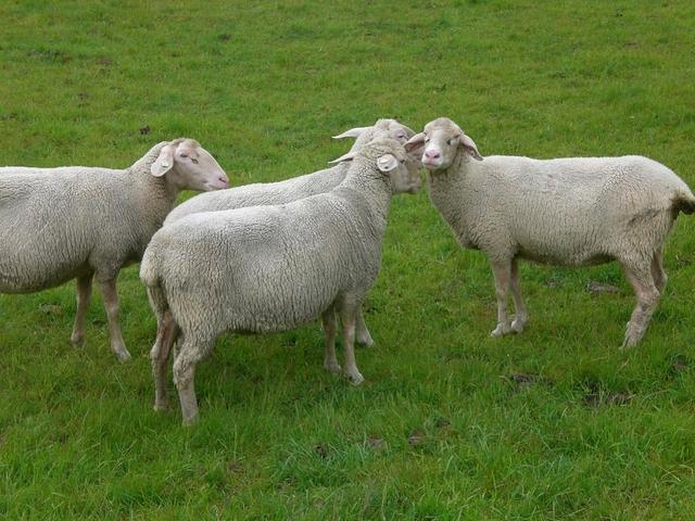 Deich-Schafe bei Pilsum