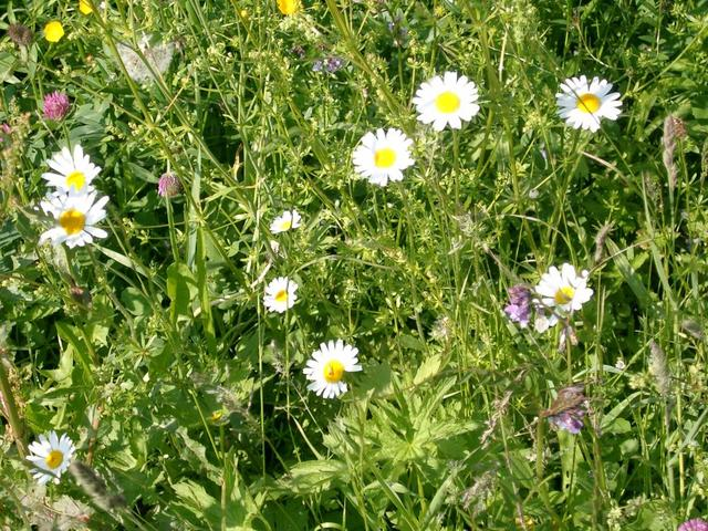 Wiesenblumen am Wanderweg