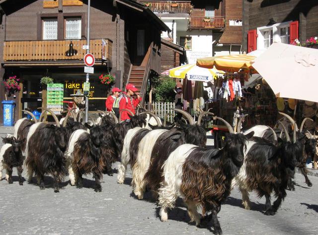 Ziegen in Zermatt